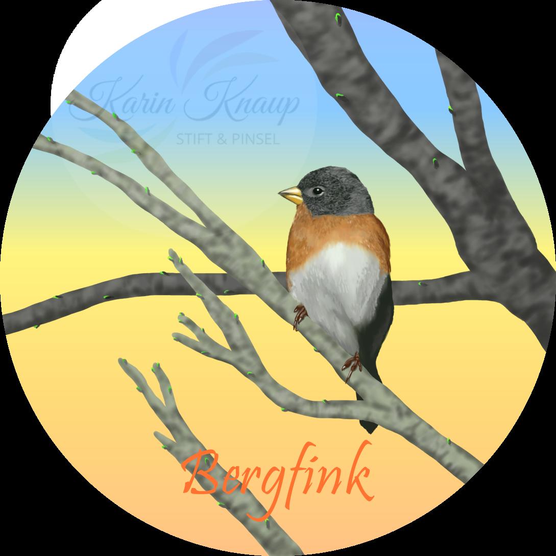 Bergfink - digitale Zeichnung